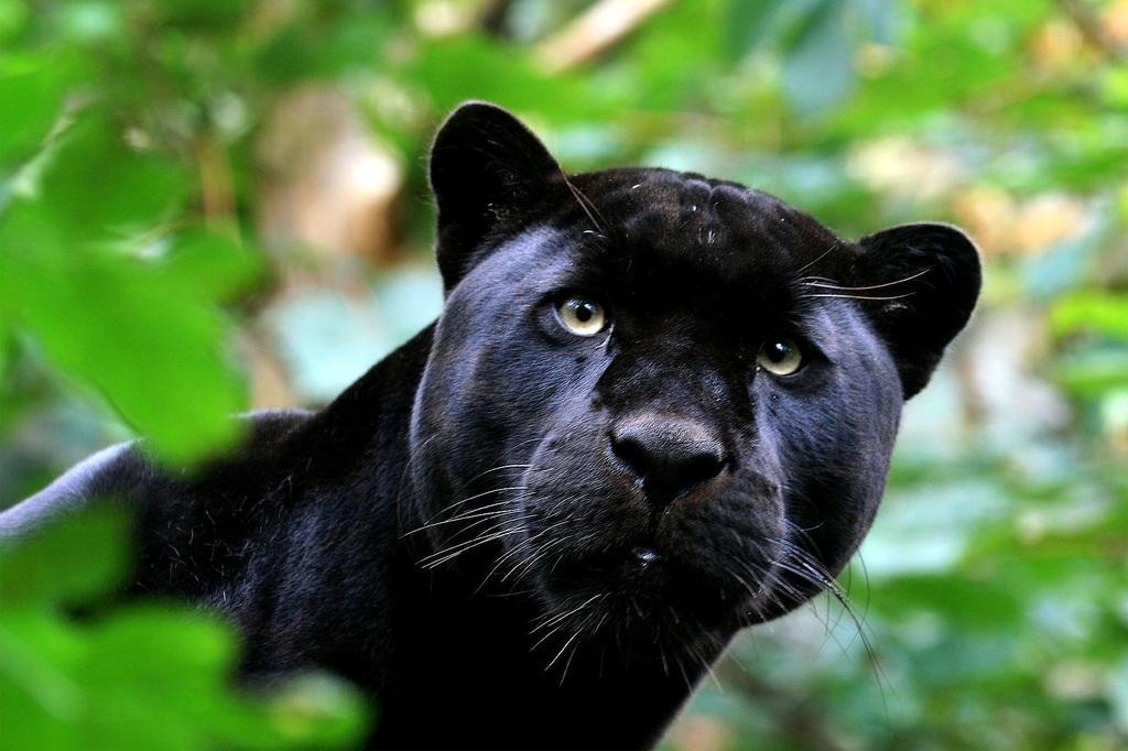 Beautiful Black Panther high resolution