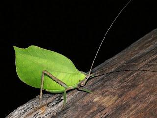 Insectos hoja - Typophillum erosum