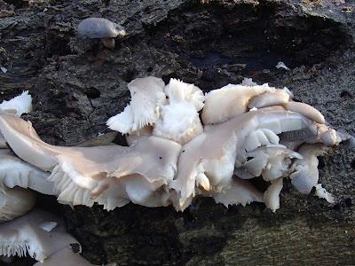 boczniak ostrygowaty, Pleurotus ostreatus