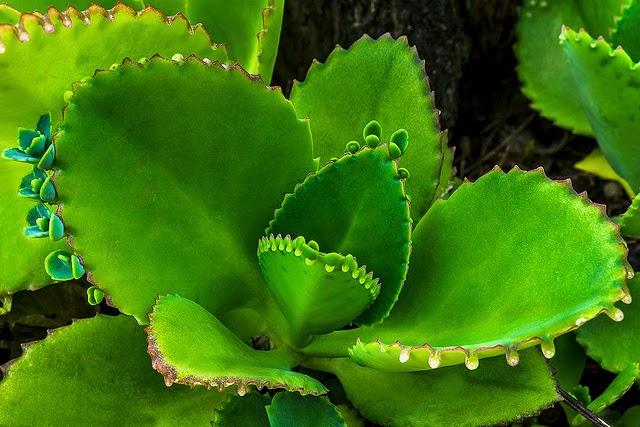 El jardinero plantas y flores planta de la fortuna for Raices ornamentales
