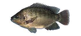 Gambar Ikan Air Tawar Nila Lele Udang Wader