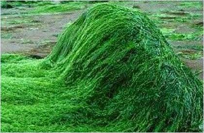 สาหร่ายเกลียวทอง สาหร่ายสไปรูลิน่า สาหร่ายเพื่อสุขภาพ