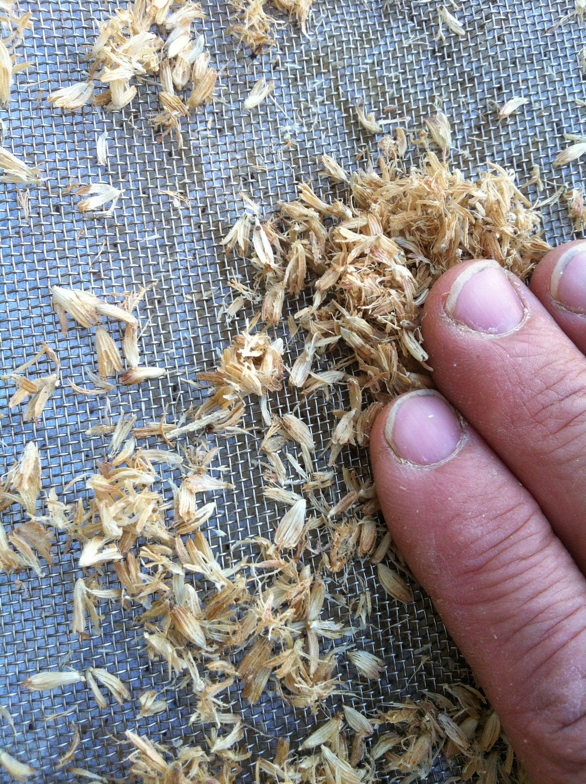 lavanda semillas