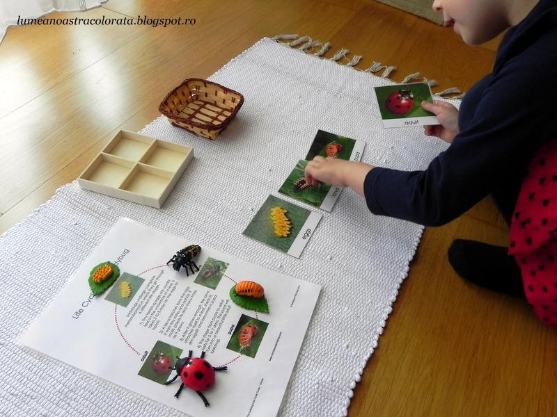 Ciclul de viață al buburuzelor prin metoda Montessori