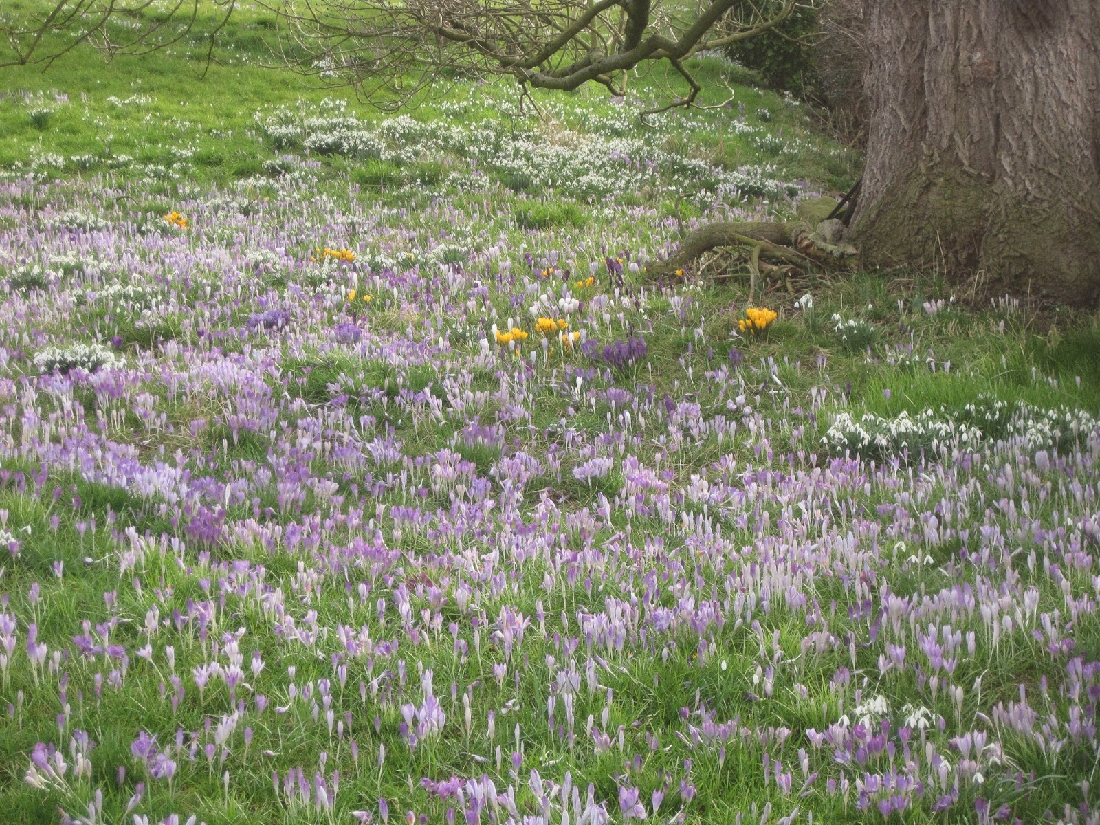 Spring Flowers, Little Bollington - February 27th, 2015
