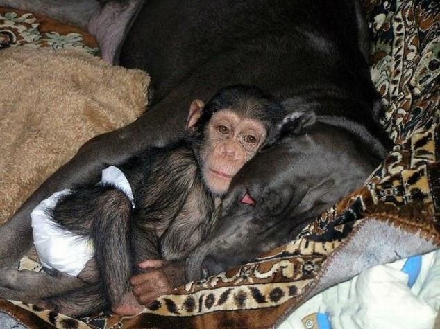 """Filhote de chimpanzé """"adotado"""" por cadela."""