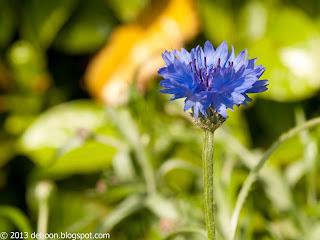 Korenbloem Cornflower