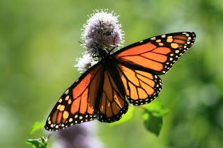 Monarch Butterfly Danaus plexippus by Randy