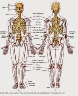 Rangka tubuh manusia tersusun dari 206 tulang
