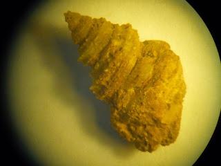 Amberleya fossil