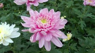 bunga krisan potong