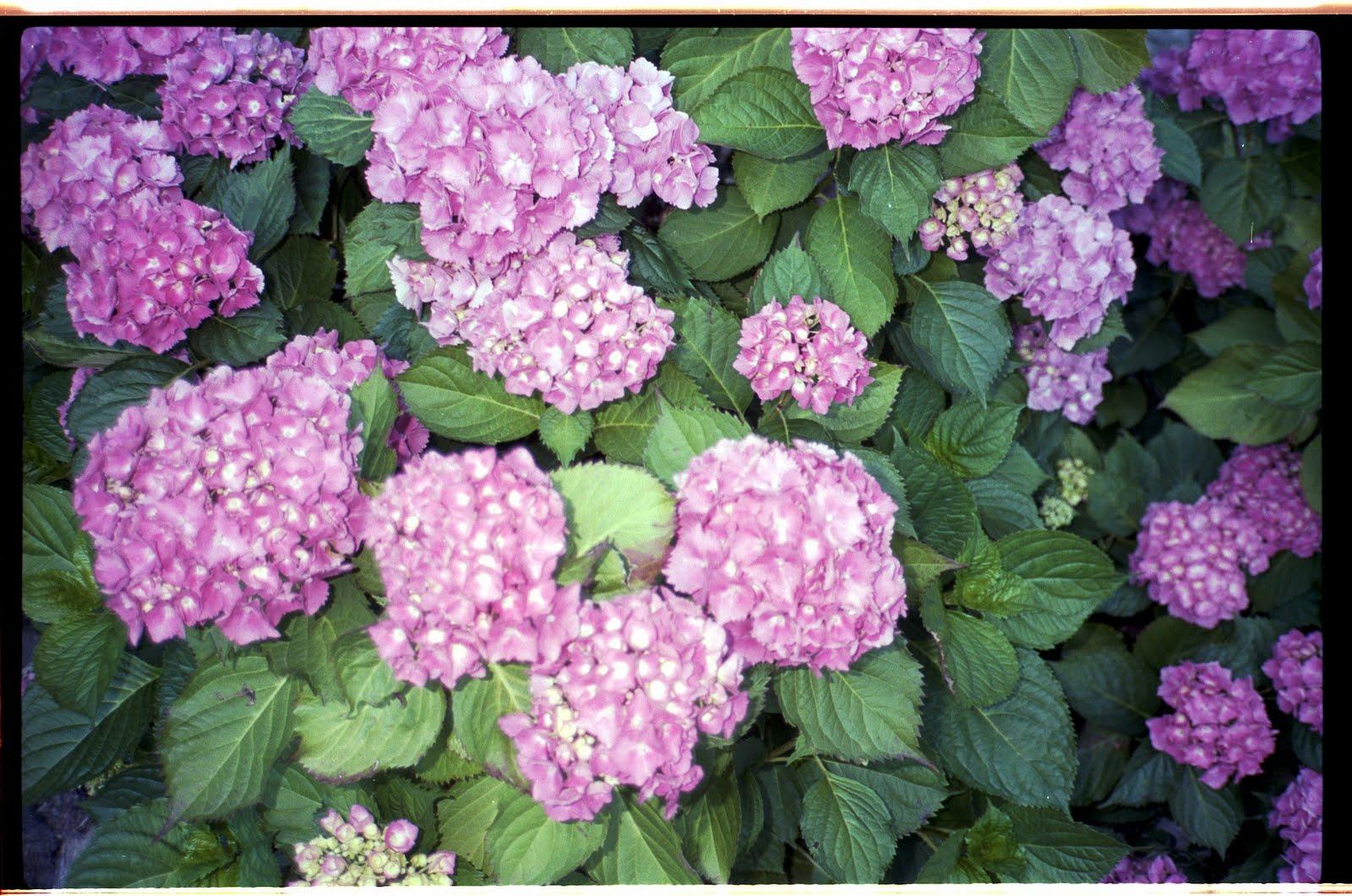 is it is it is it French Flowers