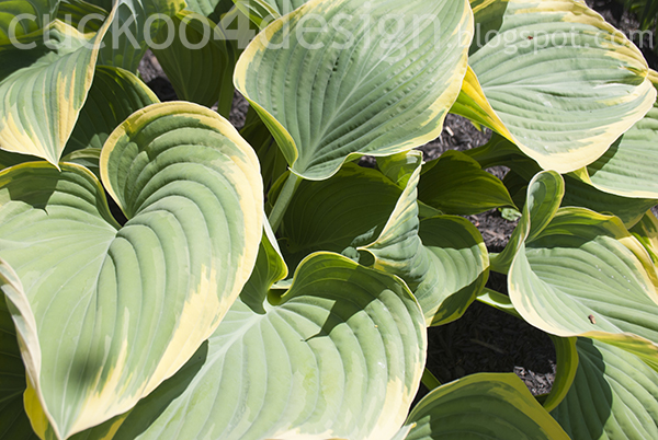huge light colored hosta