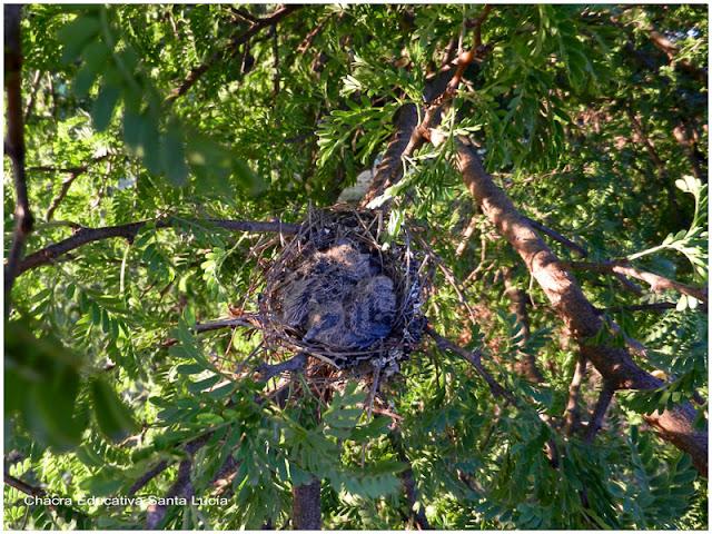 Los pichones se mantienen abrigados dentro del nido - Chacra Educativa Santa Lucía