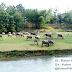 Berita Foto - Kawanan Kerbau di Padang Rumput Desa Pegongsoran