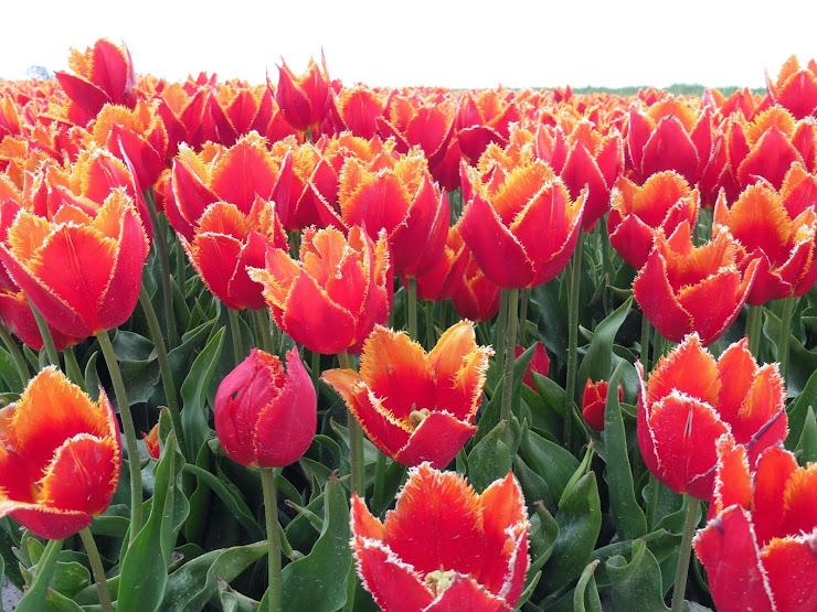 Tulpen oan de Slachte by Easterbierrum yn Fryslân