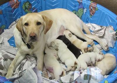 A litter of Tito x Kirin pups