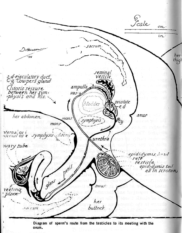 Anatomy sexual intercourse pictures
