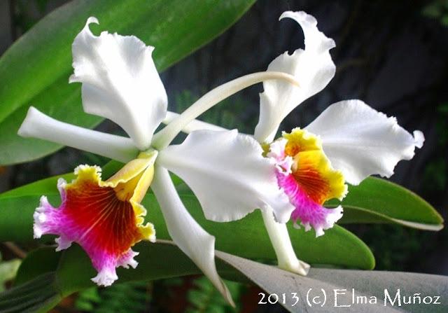 Orquidea Cattleya rex.