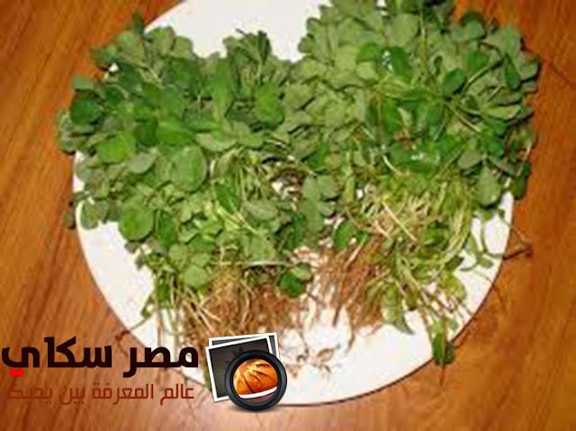 نبات الحلبة وأهم الفوائد وإستخداماتها الطبية