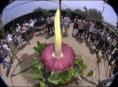 عجائب الدنيا وهل تعلم - أكبر زهرة في العالم