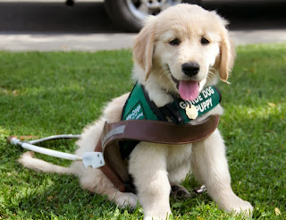 Young Golden Retriever guide dog puppy wears the green puppy coat and sits inside of an empty harness.