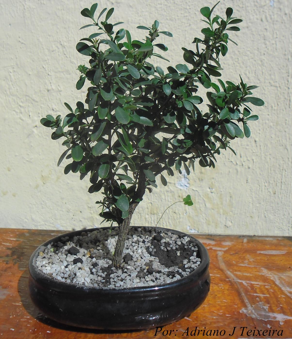 Mundo das plantas como cuidar e cultivar seu bonsai - Como cultivar bonsai ...