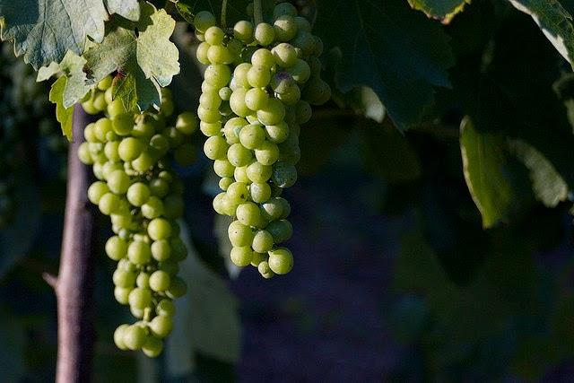 Fiano grapes from Campania