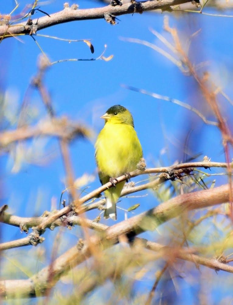 Lesser Goldfinch_7165
