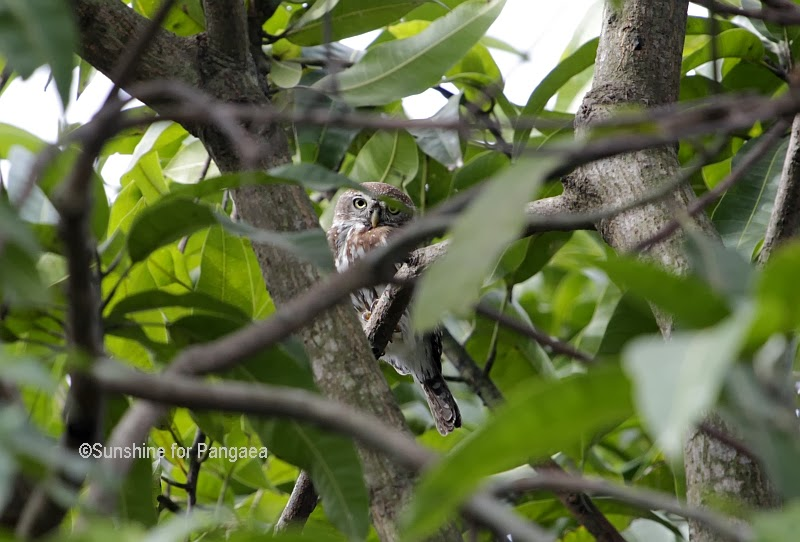 Pearl-spotted Owlet in Gambia