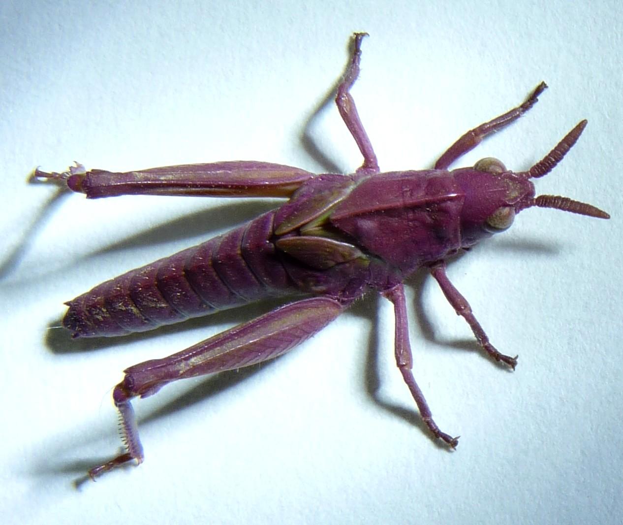Pink grasshopper! - Oh...