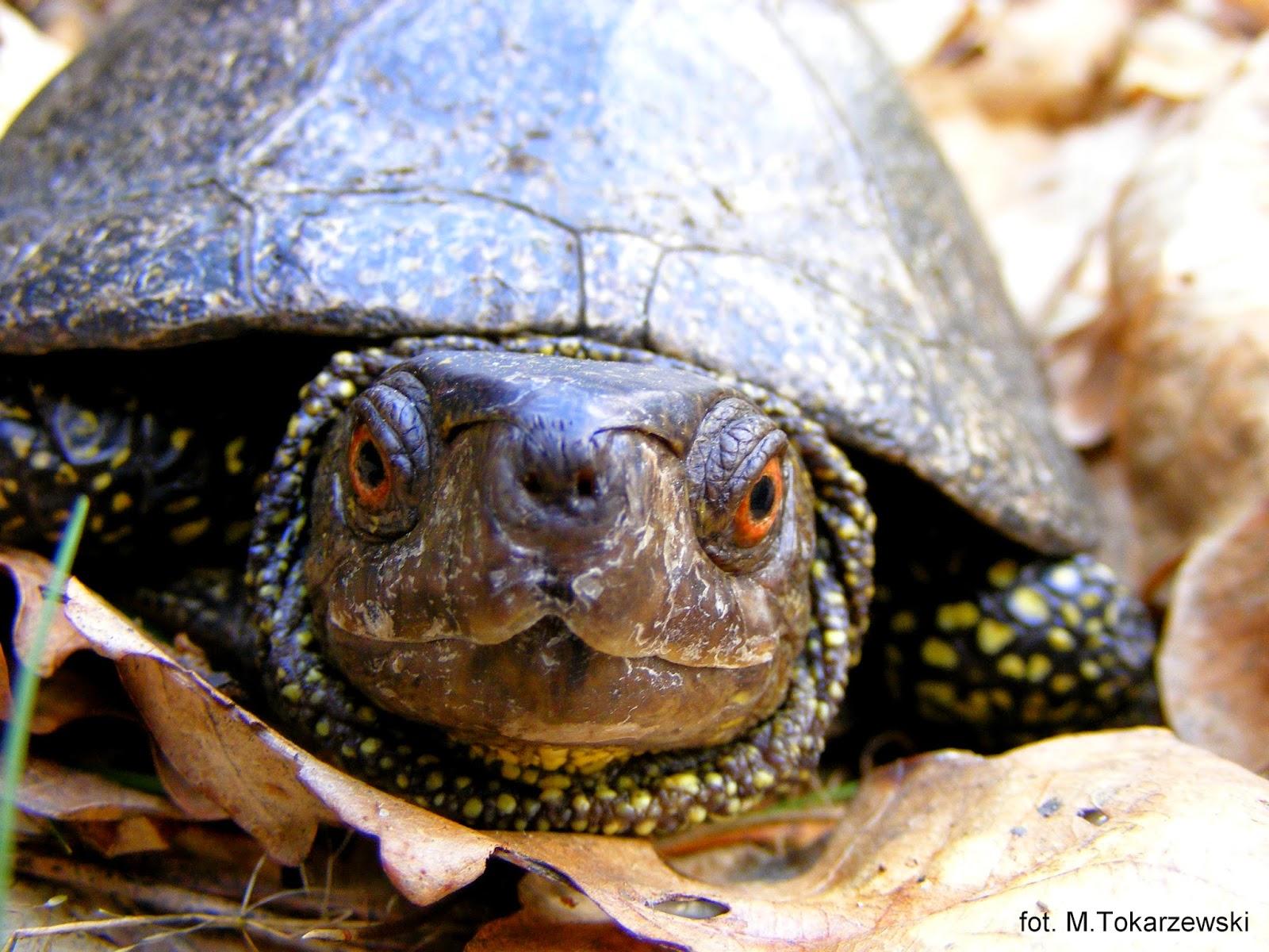 piwne oczy samca żółwia błotnego