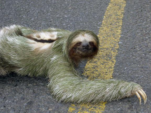 Sloth - Rare and Different South American Mammal Seen On www.coolpicturegallery.us
