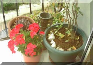 Ceylan Çiçeği