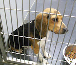 RESCUED 12/4/11 Petunia the Beagle Mix Sweet Young On Euth List