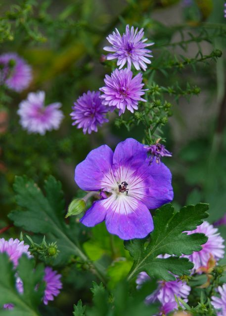 Geranium 'Rozanne' still blooming along here with double purple Aster hybrida 'Peter III', one of my favorite asters.
