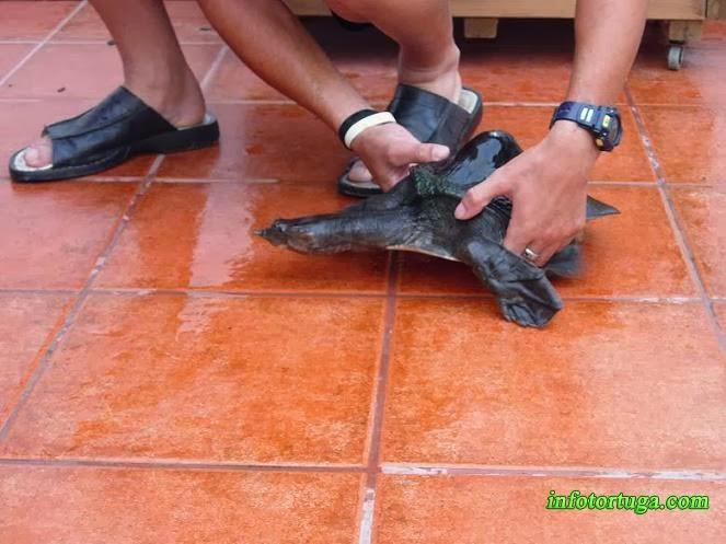 Tortuga con una deformación en el caparazón