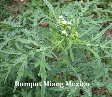 Parthenium Hysterophorus - Rumput Miang Mexico