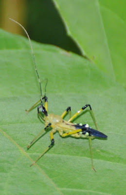 Assassin bug (Cosmolestes sp, Harpactorinae)