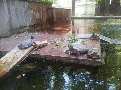 В фонтане у Ожогового Центра живут черепахи