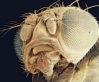 Een fruitvlieg met obesitas