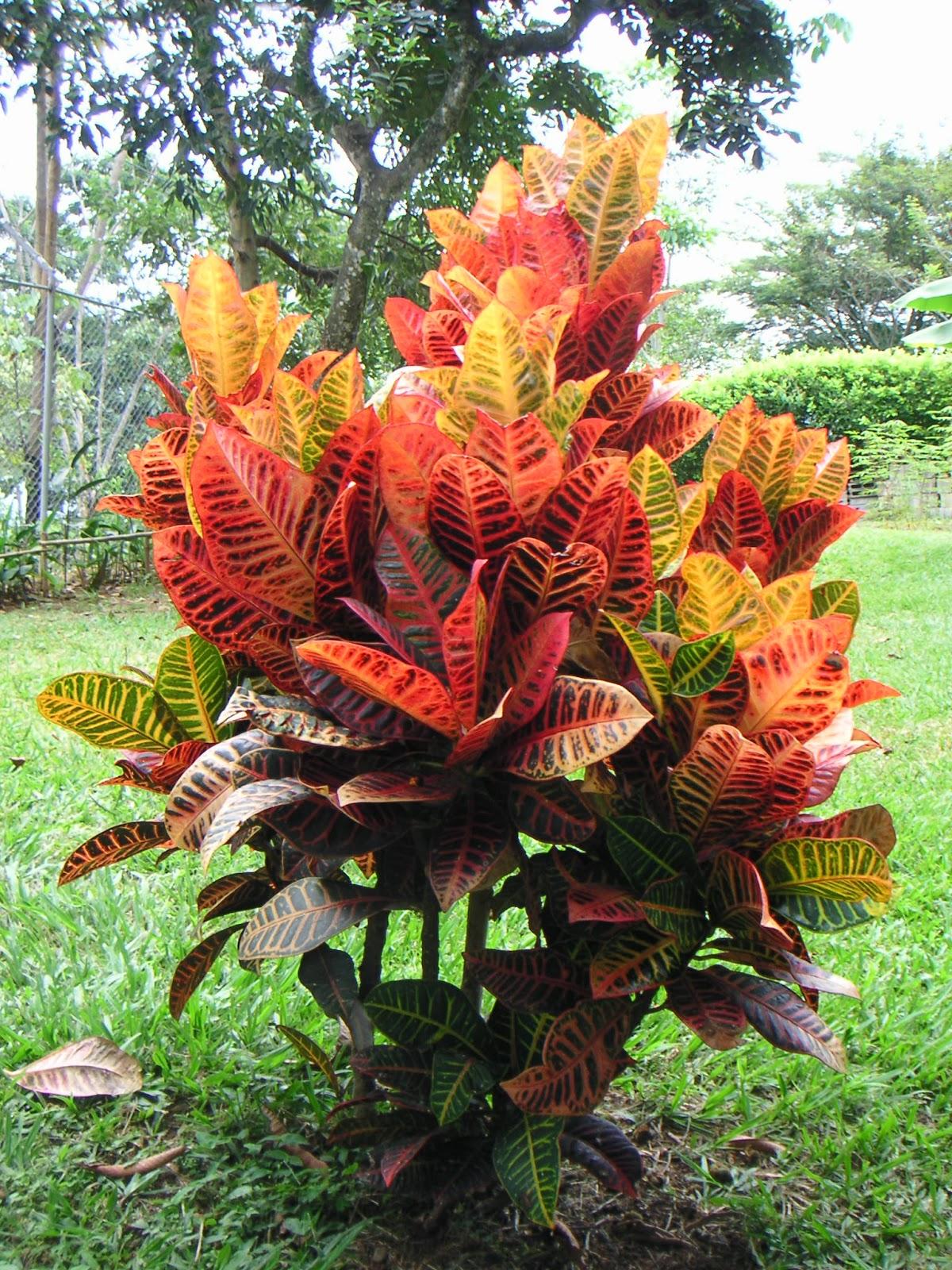 Peces y plantas ornamentales codiaeum variegatum crot n for Imagenes de arboles ornamentales