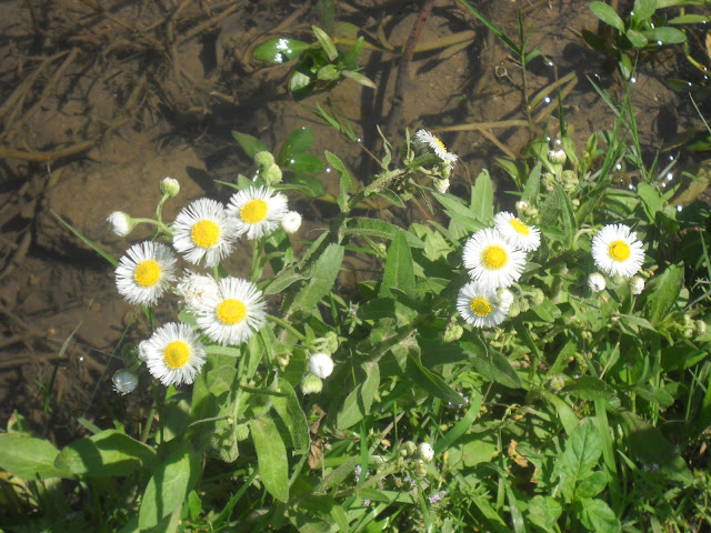 Fleabane wildflowers at White Rock Lake, Dallas, Texas