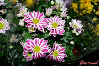 Chrysanthemum Gallery
