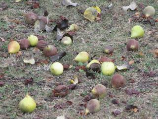 Windfall pears