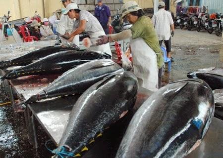 Ocean Tuna in Phú Yên Province (Cá Ngừ Đại Dương)