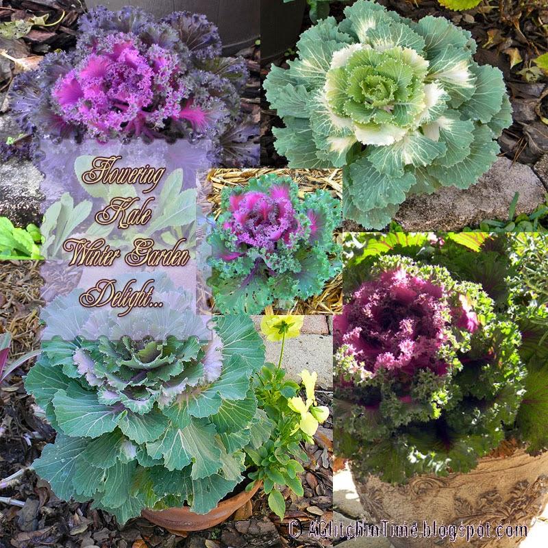 Flowering Kale-- Winter Garden Delight