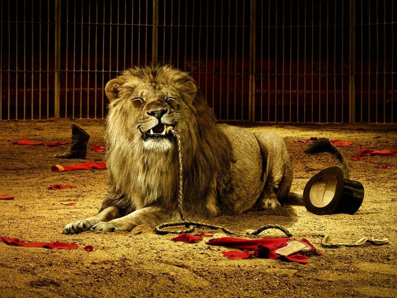 read more male lion info