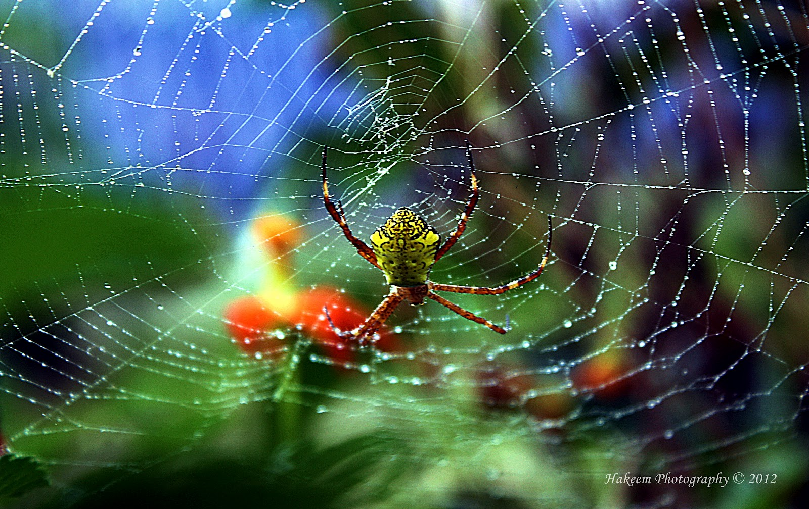 Golden Garden Spider-Argiope aurantia