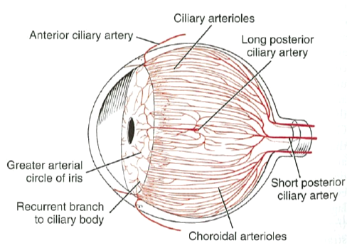 Ocular Vasculature Anatomy Diagrams Block And Schematic Diagrams